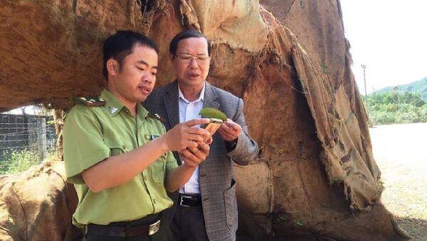Lực lượng kiểm lâm Thừa Thiên- Huế có mặt tại hiện trường 3 cây quái thú để xác minh nguồn gốc - Sputnik Việt Nam