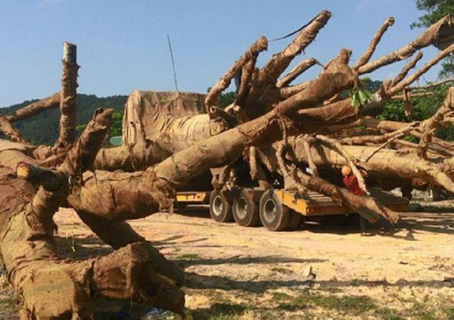 Cận cảnh các cây cổ thụ và lực lượng kiểm lâm có mặt kiểm tra