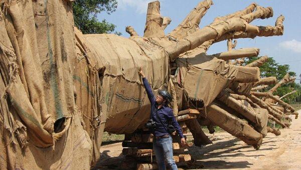 Hồ sơ về nguồn gốc 2 cây cổ thụ được cho khai thác tại xã Ea Hồ (huyện Krông Năng, tỉnh Đắk Lắk) nghi làm giả. - Sputnik Việt Nam