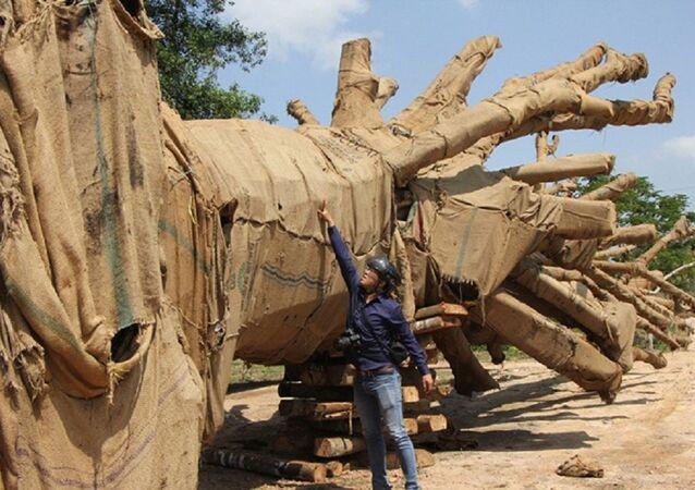 Hồ sơ về nguồn gốc 2 cây cổ thụ được cho khai thác tại xã Ea Hồ (huyện Krông Năng, tỉnh Đắk Lắk) nghi làm giả.