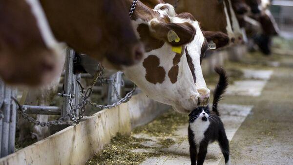 Bò cọ mũi với mèo trong trang trại ở Granby - Sputnik Việt Nam