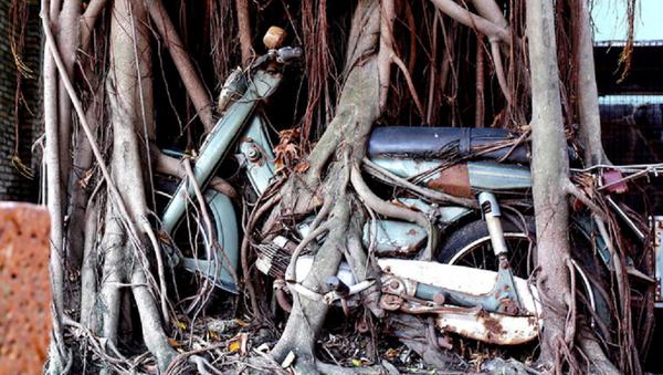 Cây cổ thụ ôm chặt cứng chiếc xe máy suốt 25 năm ở Bình Dương - Sputnik Việt Nam