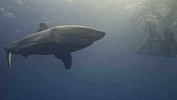 Cá mập trắng lớn - Sputnik Việt Nam