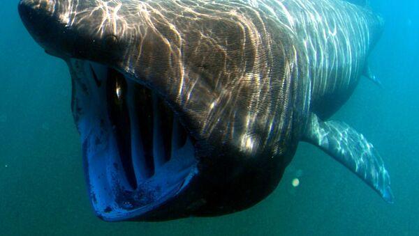 Cá mập khổng lồ - Sputnik Việt Nam