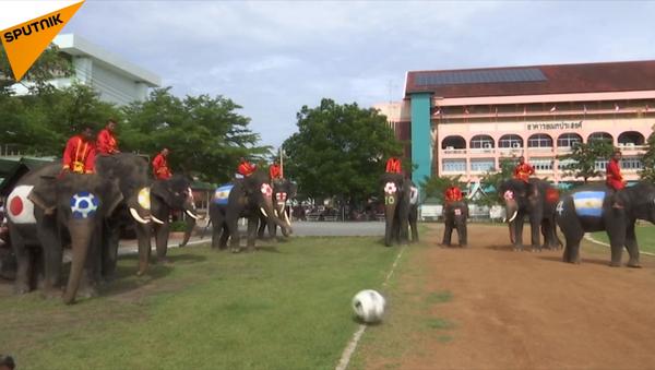 Bóng đá của đàn voi - Sputnik Việt Nam