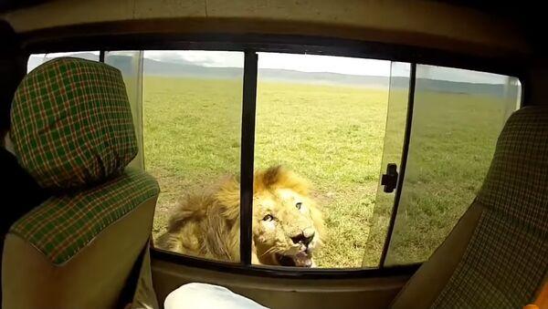 Ở Nam Phi du khách cố gắng xoa mình con sư tử và suýt mất tay - Sputnik Việt Nam