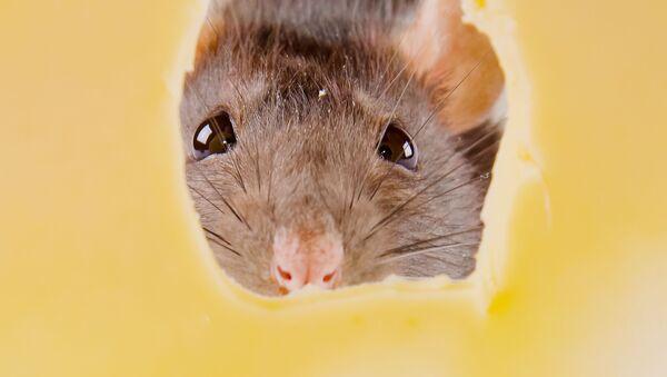 Мышь и кусочек сыра - Sputnik Việt Nam