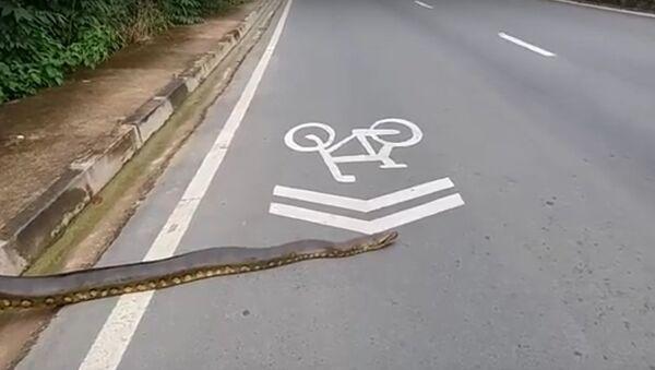 Một con trăn anaconda khồng lồ chắn ngang đường ở Brazil - Sputnik Việt Nam