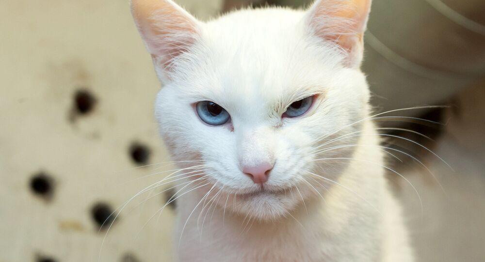 """Mèo Achilles của Hermitage - một """"nhà tiên tri"""" của World Cup"""