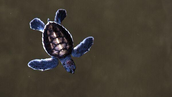 Những con rùa biển bơi lội trong Trung tâm Rùa ở Sri Lanka - Sputnik Việt Nam