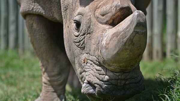Tê giác trắng  - Sputnik Việt Nam