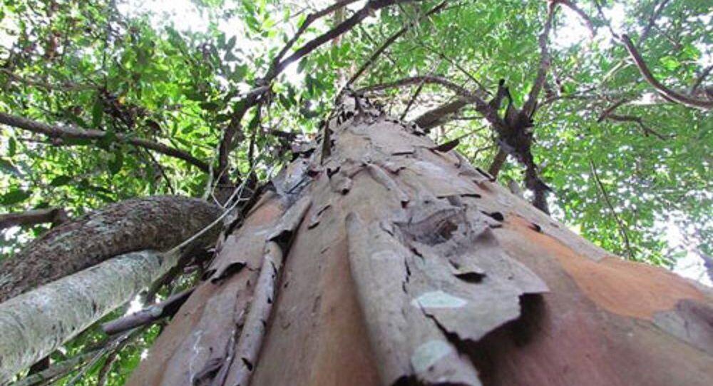 Cây đỉnh tùng trưởng thành đang được bảo vệ nghiêm ngặt tại Lâm Đồng.