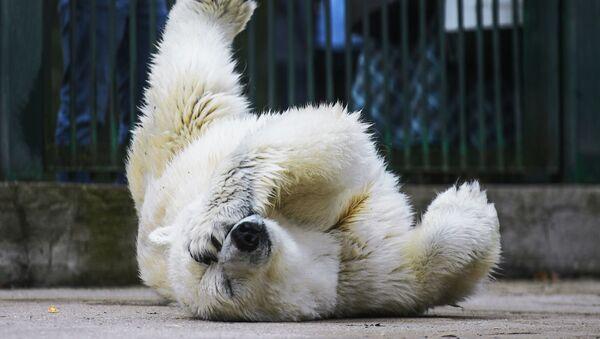 Gấu trắng trong Vườn thú Matxcơva  - Sputnik Việt Nam