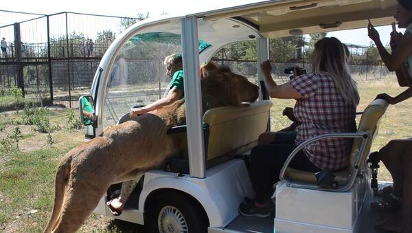 Sư tử leo lên xe liếm cổ du khách - Sputnik Việt Nam