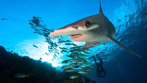 cá mập đầu búa - Sputnik Việt Nam