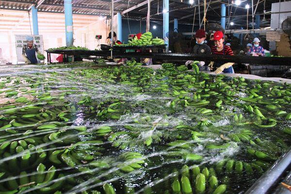 Công đoạn khử trùng, tuyển chọn chuối xuất khẩu tại Trang trại chuối xuất khẩu Huy Long An (Ấp Bến Kinh, xã Đôn Thuận, huyện Trảng Bàng, Tây Ninh) - Sputnik Việt Nam