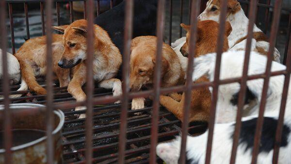 Chó nuôi để ăn thịt ở Hà Nội - Sputnik Việt Nam