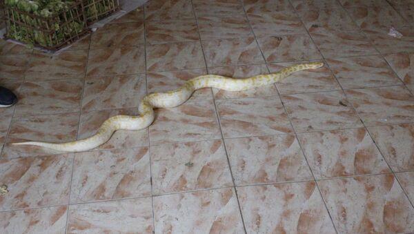 Thợ săn rắn Ai Cập kể về công việc nguy hiểm với rắn độc - Sputnik Việt Nam