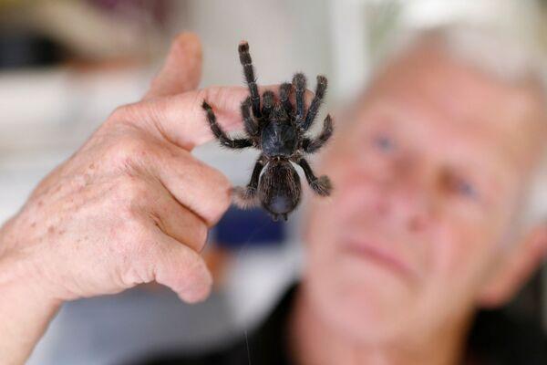 Philippe Gillet 67 tuổi thích bò sát với con nhện tarantul trong nhà của mình ở thành phố Couëron, Pháp - Sputnik Việt Nam
