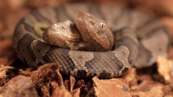 Двухголовая ядовитая змея - Sputnik Việt Nam