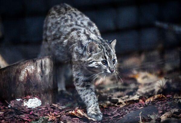 Mèo báo cái Amur năm tháng tuổi ở Vườn thú Moskva - Sputnik Việt Nam