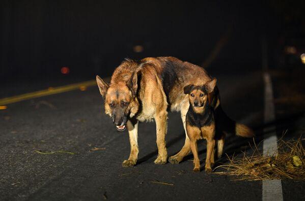 Đàn chó trên đường trong vụ cháy rừng quanh thành phố Paradise của California - Sputnik Việt Nam