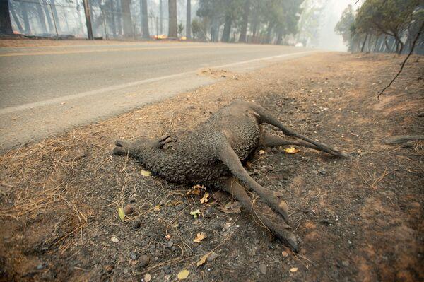 Con vật chết cháy nằm bên đường ở thành phố Paradise, California, nơi đã bị cháy hoàn toàn - Sputnik Việt Nam