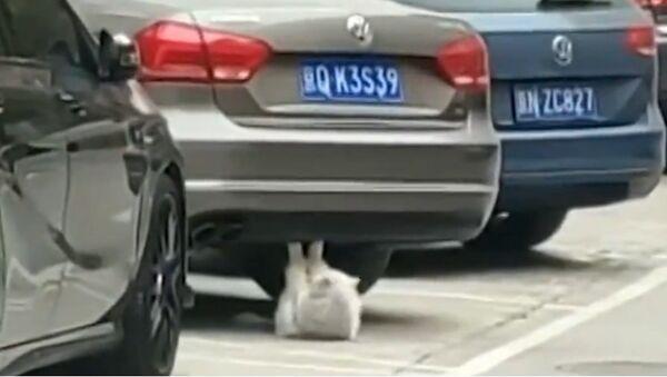 """Con mèo đang """"tập thể dục"""" dưới gầm một chiếc xe ô tô đang đậu - Sputnik Việt Nam"""