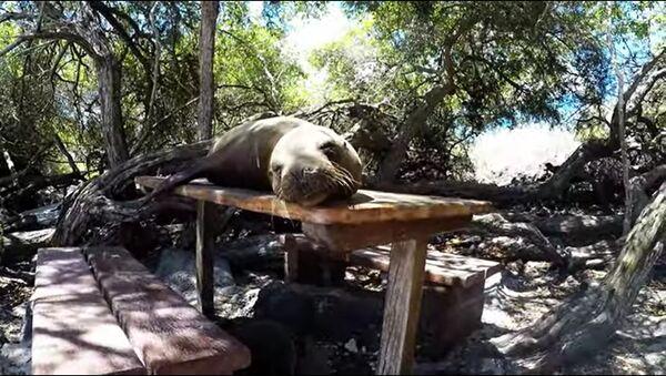 con sư tử biển nằm ngủ trên bàn ở bờ biển - Sputnik Việt Nam
