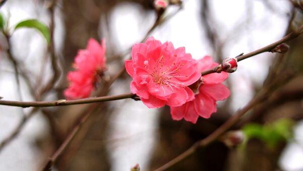 Những bông hoa đào Nhật Tân mới nở - Sputnik Việt Nam