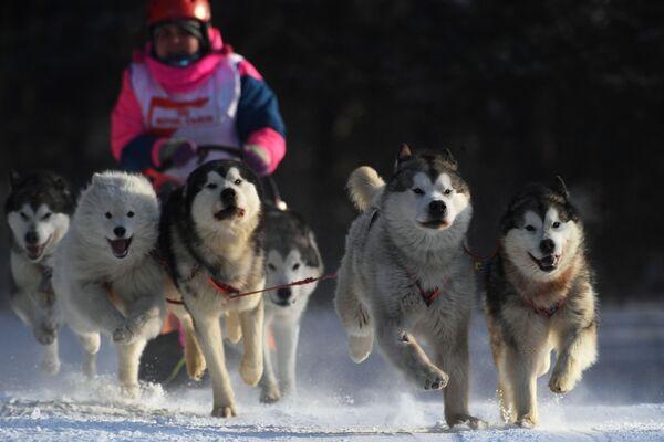 Người tham gia cuộc thi Giải vô địch khu vực Novosibirsk trong các môn thi đấu mùa đông Cuộc đua xe kéo chó Giáng sinh - 2019 trên bãi trượt tuyết Metelisha ở Berdsk - Sputnik Việt Nam