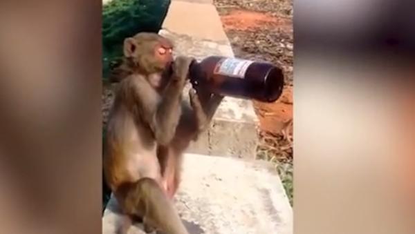 khỉ lấy trộm một chai bia - Sputnik Việt Nam