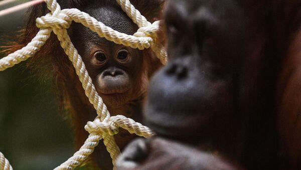 Đười ươi Borneao con sinh ra ở Vườn thú Moskva - Sputnik Việt Nam