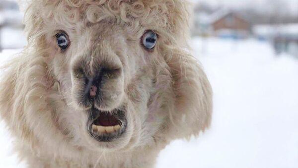 Con lạc đà cừu Alpaca - Sputnik Việt Nam