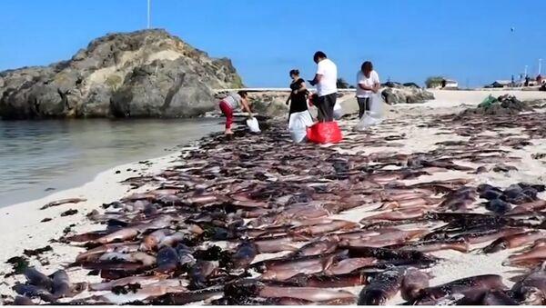 Xác của hàng ngàn con mực bị chết dạt vào bãi biển nổi tiếng - Sputnik Việt Nam