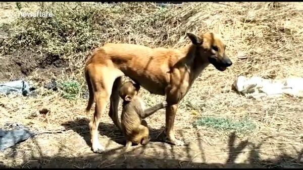 Chó một mắt nhận nuôi chú khỉ mồ côi - Sputnik Việt Nam