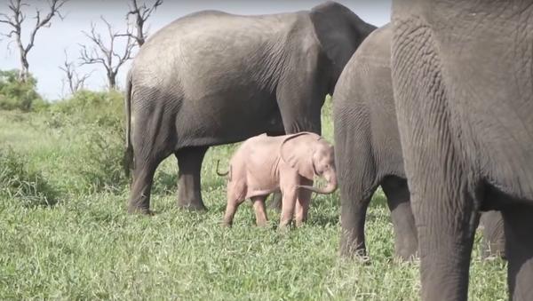 Xuất hiện video về một chú voi con màu hồng khác thường ở  Nam Phi - Sputnik Việt Nam