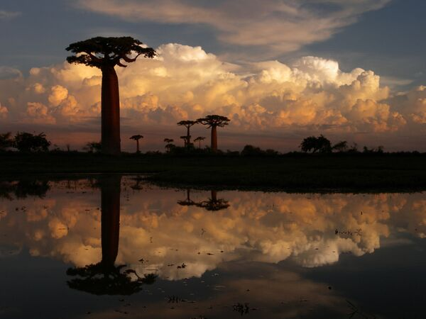 Những câu baobab ở Madagascar - Sputnik Việt Nam