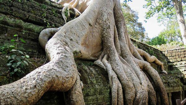 Rễ cây tại quần thể đền Ta Prohm ở Campuchia - Sputnik Việt Nam