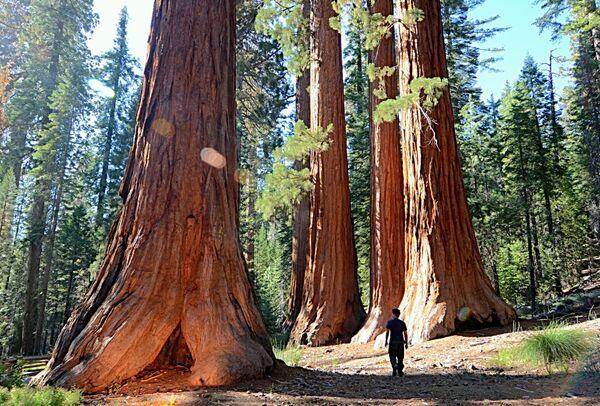 Những cây cự sam trong Công viên quốc gia Yosemite - Sputnik Việt Nam