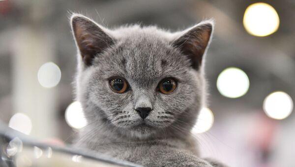 Выставка кошек Кэтсбург - Sputnik Việt Nam