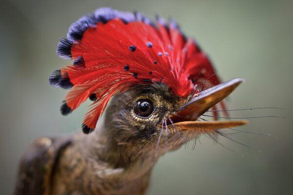 Chim đớp ruồi hoàng gia Amazonia  - Sputnik Việt Nam