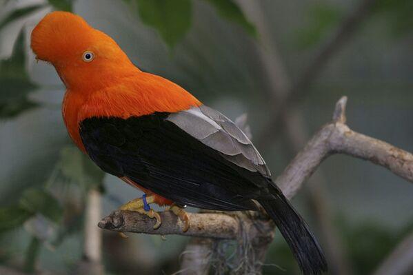 Chim Rupicola peruvianus - Sputnik Việt Nam
