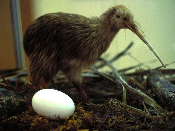 Chim Kiwi và trứng (nhồi lông) - Sputnik Việt Nam