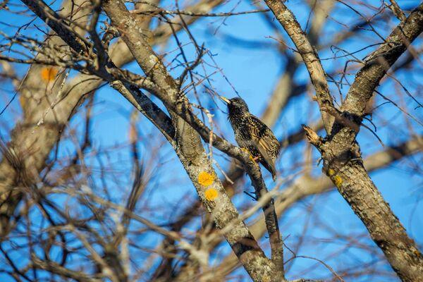 Những con chim sáo đá đầu tiên bay đến đảo Kizhi ở Karelia - Sputnik Việt Nam
