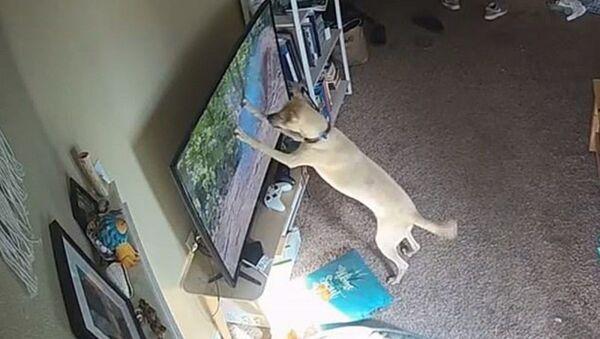 Bản năng săn mồi tự nhiên trỗi dậy khiến con chó làm hỏng chiếc TV  - Sputnik Việt Nam