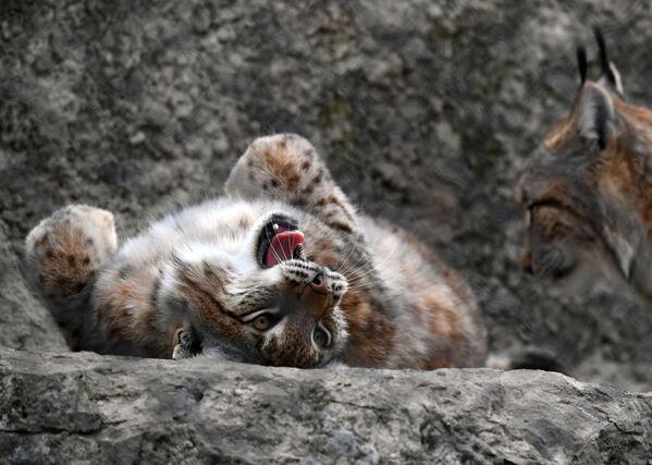 Con linh miêu trong vườn thú Moskva - Sputnik Việt Nam