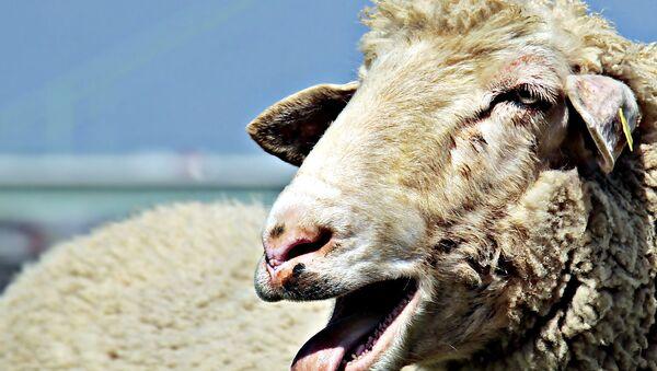 chú cừu - Sputnik Việt Nam