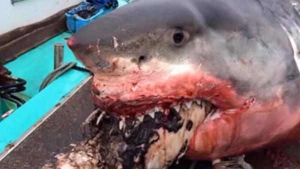 Một con cá mập trắng hóc phải con rùa và chết  - Sputnik Việt Nam