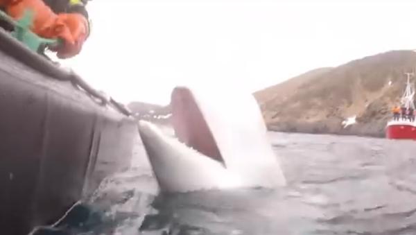Na Uy: cá voi bị nghi ngờ có liên quan tới lực lượng đặc nhiệm của Nga - Sputnik Việt Nam